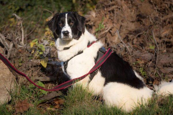 Perfect Fit 胸背 40mm 大型犬專用 牧羊犬