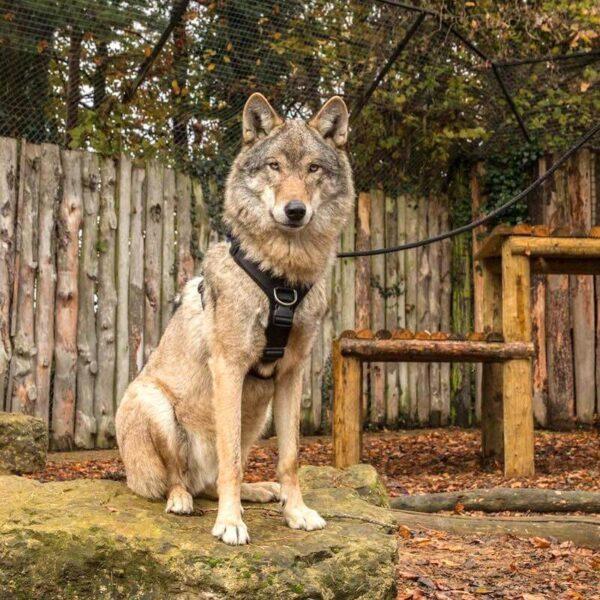 Perfect Fit 胸背 40mm 大型犬專用 狼胸背帶
