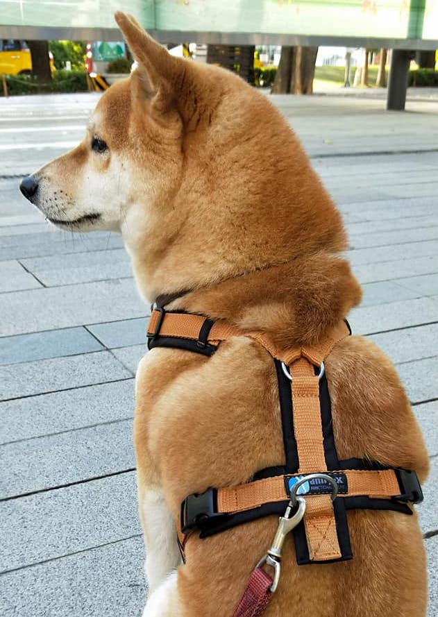 柴犬胸背帶推薦 H 型胸背 Annyx