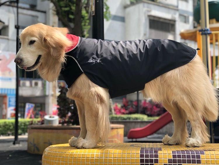 Chilly Dogs 狗雨衣 黃金獵犬