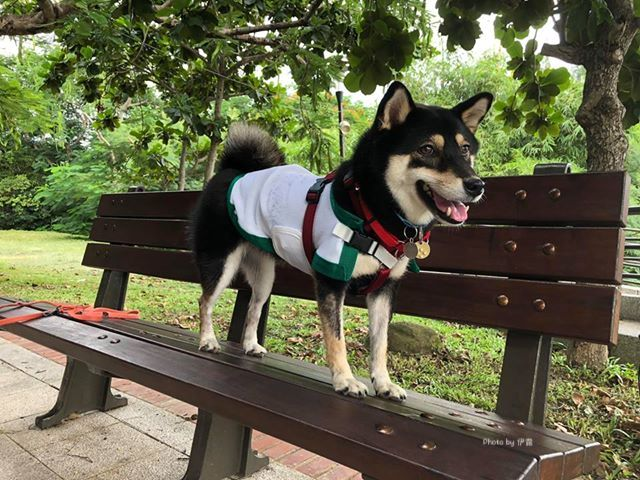 披風型涼感衣 柴犬