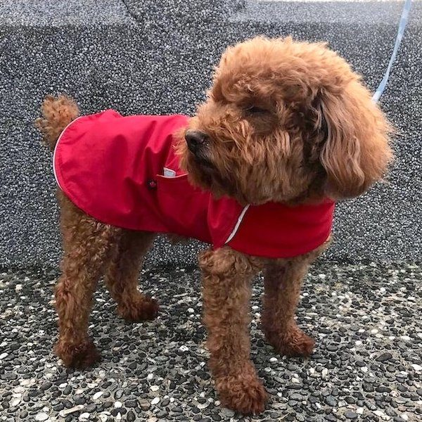 chilly dogs 雨衣 貴賓犬