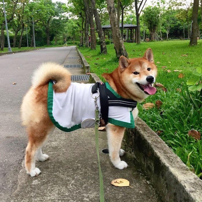 柴犬涼涼衣