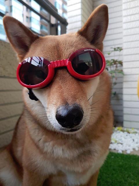 Doggles 狗太陽眼鏡 柴犬
