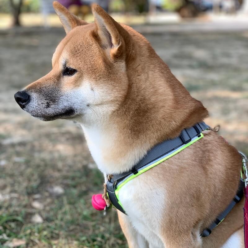 Annyx Protect 反光胸背帶 柴犬推薦胸背