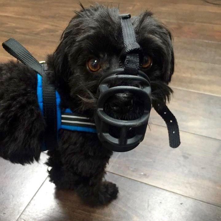 迷你貴賓 狗口罩
